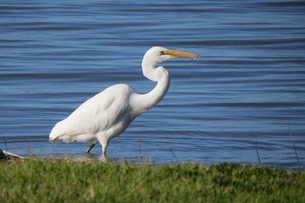 great-egret-1583528_960_720
